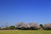 神奈川県 横浜市 根岸森林公園の桜から望むランドマークタワー