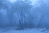 北海道 霧に覆われた新緑のダケカンバと残雪