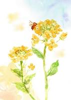 水彩画 菜の花