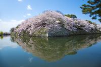 滋賀県 満開の彦根城中堀の桜
