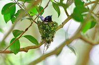 初夏の森 サンコウチョウ 樹上の枝に 営巣中