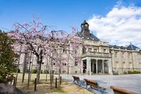 山形県 文翔館(山形県郷土館)のサクラ