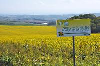 北海道 パレットの丘 ヒマワリ
