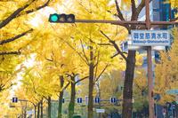 大阪府 黄葉の御堂筋イチョウ並木