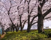 桜咲く隅田公園