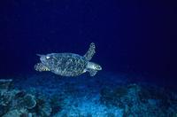 インド洋 モルジブ タイマイのメス