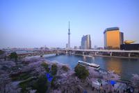 東京都 台東区 隅田公園の桜とスカイツリーの夕景