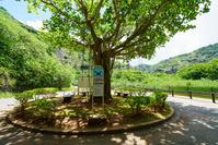 東京都 小笠原 父島 ガジュマルの木と小港海岸のバス停