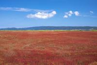 能取湖のサンゴ草群落地