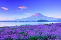 日本 山梨県 ラベンダーと富士山