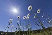アメリカ合衆国 白いデイジーの花