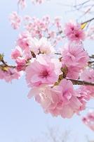 桜の花 滋賀県