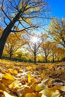 イチョウ並木の黄葉と木漏れ日