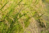群馬県 実った稲(ひとめぼれ)