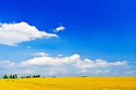 北海道 なだらかな小麦畑の丘