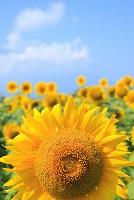 山梨県 花の都公園 ヒマワリの花畑