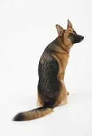 ジャーマンシェパードドッグ 後ろを向いてお座りをしている犬