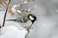 雪舞う中のシジュウカラ