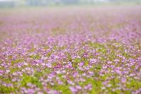 レンゲソウの花畑
