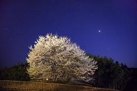 岡山県 醍醐桜二世