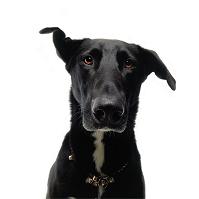 ラブラドール・レトリバー 犬