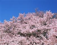 長野県・伊那市 高遠小彼岸桜