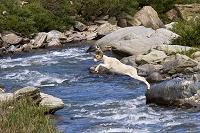 アラスカ デナリ国立公園 川を飛び越えるダルシープ