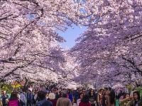 東京都 桜 上野恩賜公園