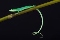 沖縄 アオカナヘビ