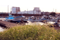 千葉県 船橋漁港 船溜まり エノコログサ