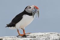 イギリス 小魚を銜える西角目鳥