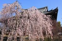 京都府 立本寺 枝垂れ桜と本堂