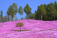 北海道 滝上町 芝ざくら滝上公園 シバザクラと白樺