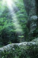 光射す大木と若葉