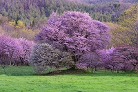 岩手県 八幡平市 岩手県県民の森 夫婦桜