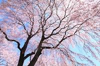 長野県 大草城址公園の枝垂れ桜