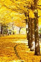 北海道 いちょう並木