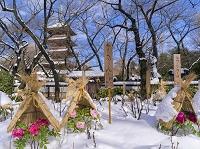東京都 上野公園 上野東照宮 寒牡丹