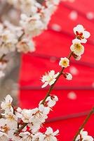 白梅と赤い和傘