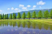 滋賀県 高島市 メタセコイア並木 田園風景