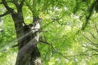 新緑の大木ブナと原生林