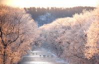 北海道 朝日に輝く樹氷とタンチョウのネグラ