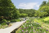 新潟県 五十公野公園のあやめ園