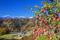 長野県 リンゴと北アルプス(鹿島槍ヶ岳,五竜岳,唐松岳)