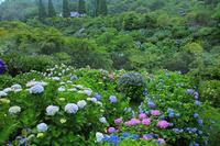 鹿児島県出水市東雲の里アジサイ園