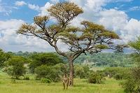 タンザニア サファリ キリン