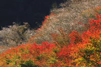愛知県 小原の四季桜と紅葉 柿ヶ入沢散歩道