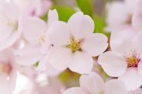 北海道 桜の花