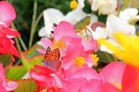 シジミチョウとバッタのいる花畑