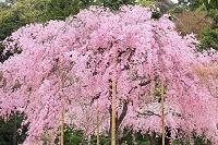 京都府 法金剛院 待賢門院桜